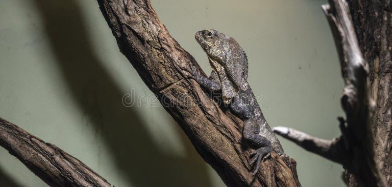 O lagarto & o x28 franzido-necked; Kingii do Chlamydosaurus fotografia de stock