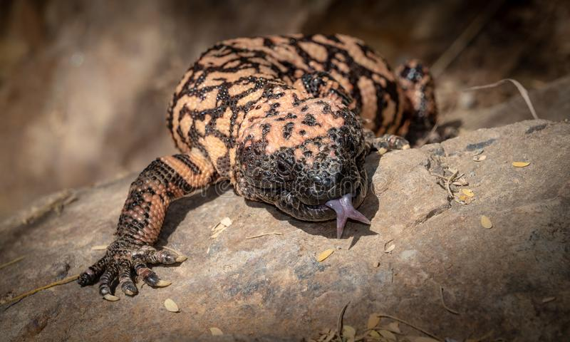 O lagarto peçonhento do suspectum do Heloderma do monstro de Gila com língua estendeu imagem de stock royalty free
