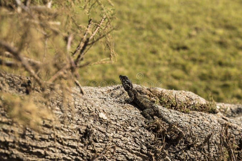 O lagarto toma sol no sol foto de stock royalty free