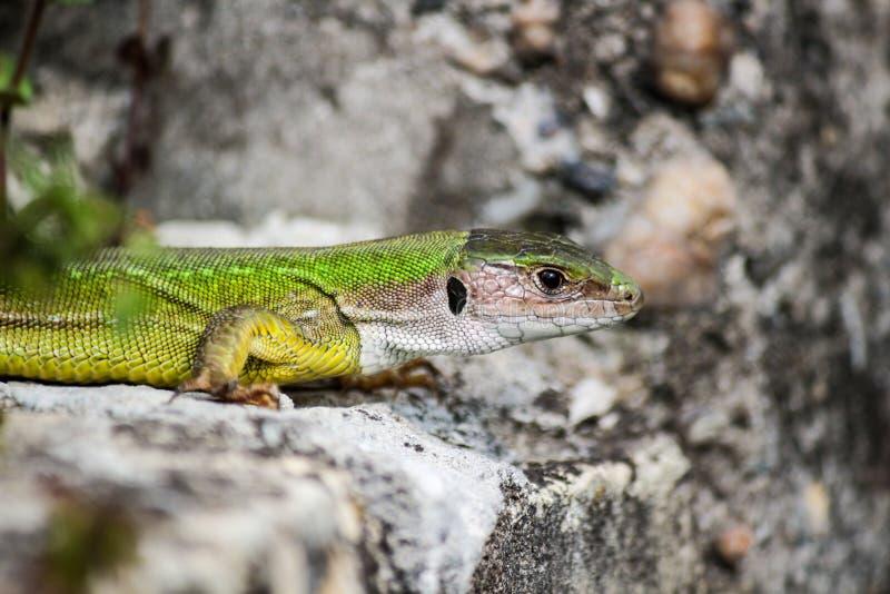 O lagarto trava algum sol na rocha imagem de stock royalty free