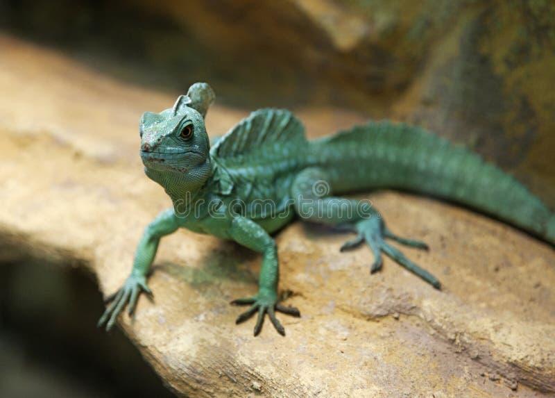 O lagarto verde pequeno bonito de Budapest encontrou no terrarium foto de stock