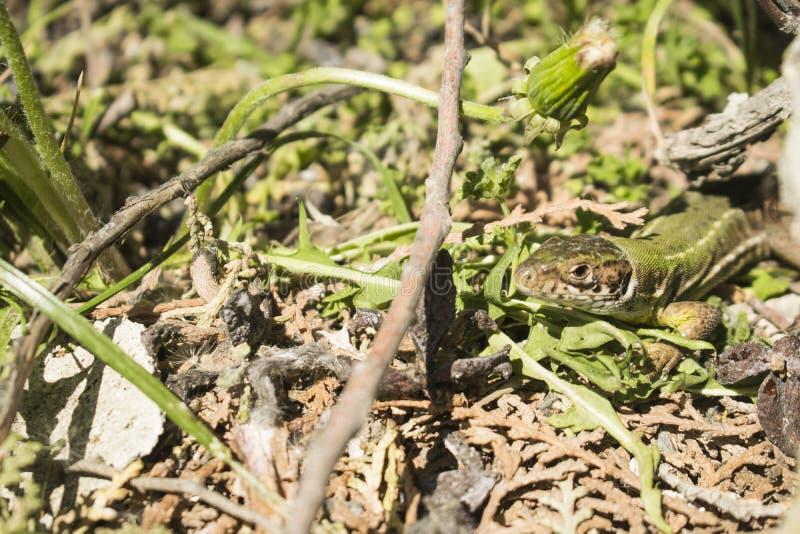 O lagarto verde pequeno graden dentro imagem de stock royalty free
