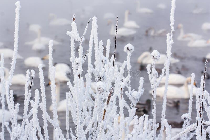 O Lago das Cisnes imagem de stock