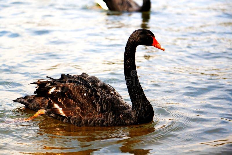 O Lago das Cisnes na área cênico de Puzhihe imagem de stock