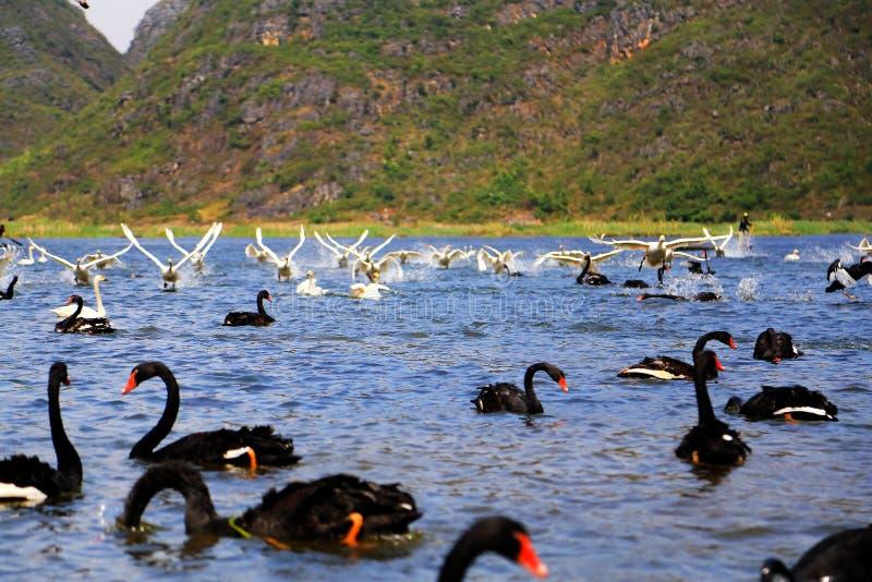 O Lago das Cisnes na área cênico de Puzhihe foto de stock