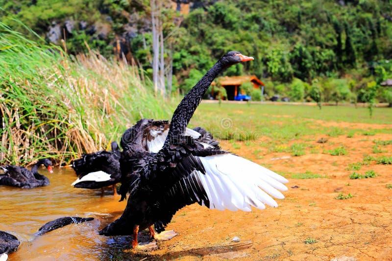 O Lago das Cisnes na área cênico de Puzhihe imagem de stock royalty free