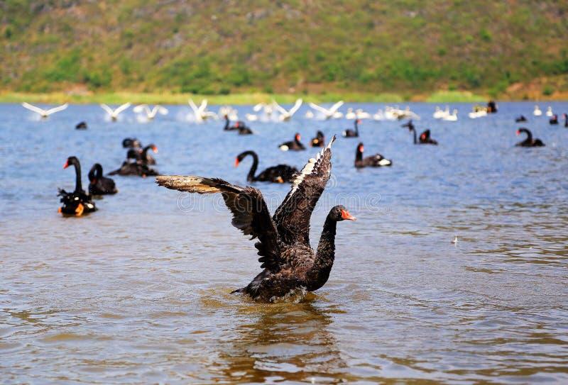 O Lago das Cisnes na área cênico de Puzhihe fotografia de stock royalty free