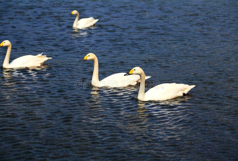 O Lago das Cisnes na área cênico de Puzhihe imagens de stock