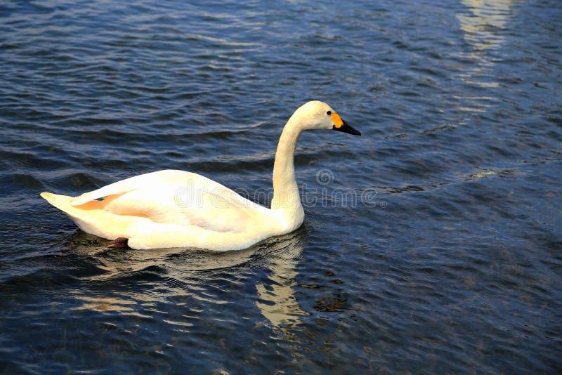 O Lago das Cisnes na área cênico de Puzhihe fotografia de stock