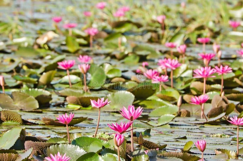 Download O Lago Do Lírio De água Cor-de-rosa Foto de Stock - Imagem de folha, buddhism: 26511320