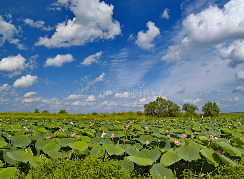 O lago que floresce lótus cor-de-rosa. foto de stock