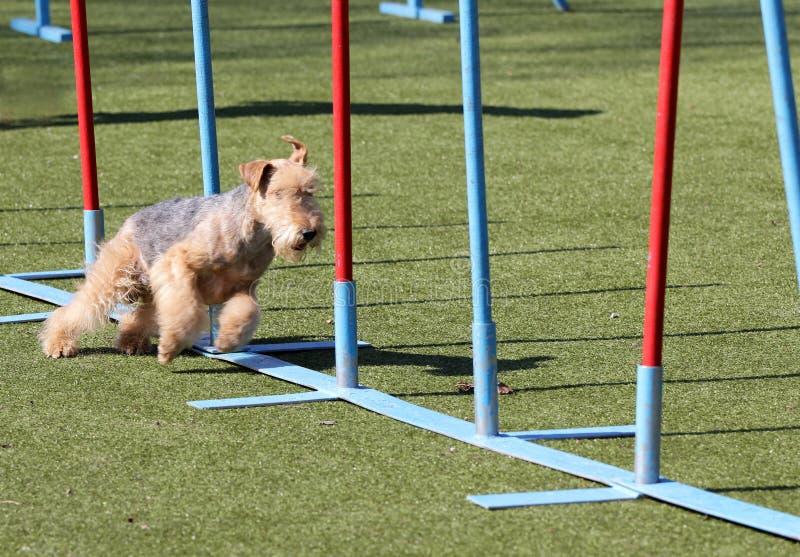 O Lakeland Terrier no treinamento na agilidade do cão fotografia de stock