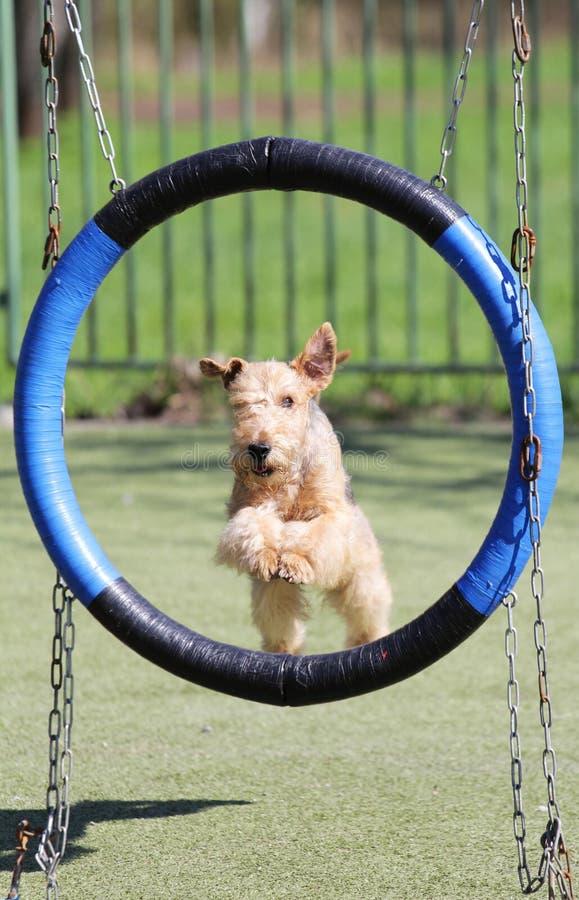 O Lakeland Terrier no treinamento na agilidade do cão imagem de stock royalty free