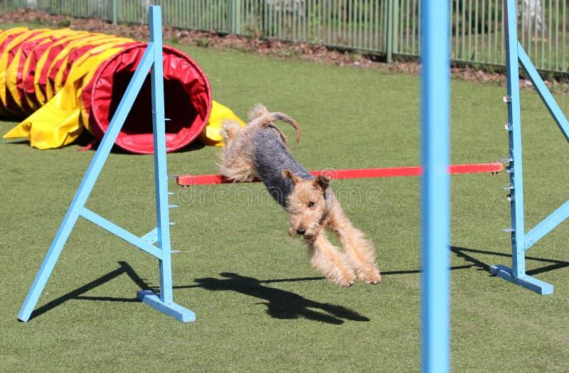 O Lakeland Terrier no treinamento na agilidade do cão fotos de stock