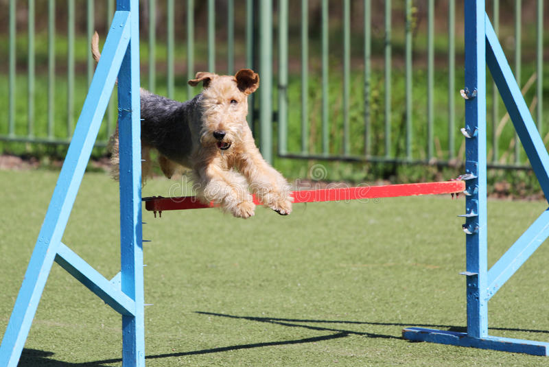 O Lakeland Terrier no treinamento na agilidade do cão imagens de stock royalty free