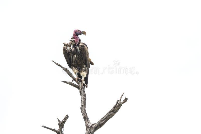 O Lappet enfrentou o abutre no parque nacional de Kruger, ?frica do Sul foto de stock