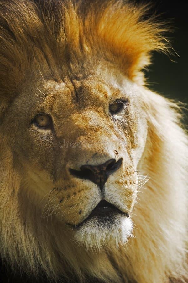 O leão imagem de stock royalty free