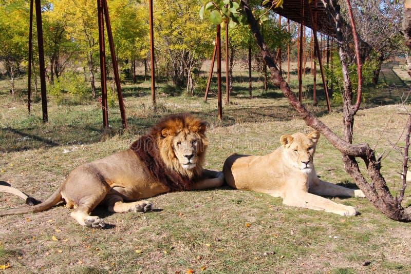 O leão adulto encontra-se ao lado de uma leoa no parque do safari fotografia de stock royalty free