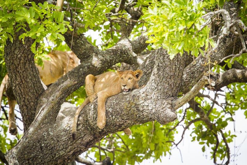 O leão africano descansa em um dia realmente quente da árvore imagens de stock