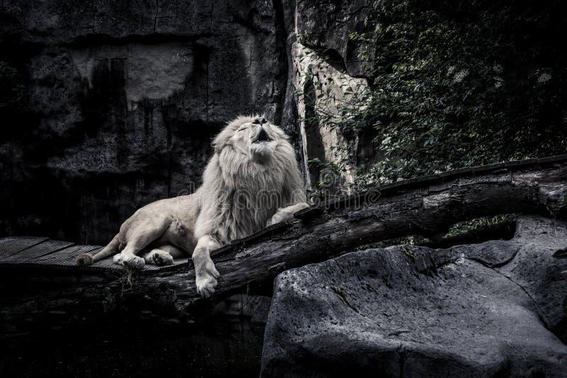 O leão branco foto de stock
