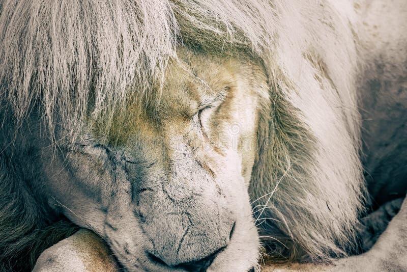 O leão branco capturou próximo acima ao dormir foto de stock