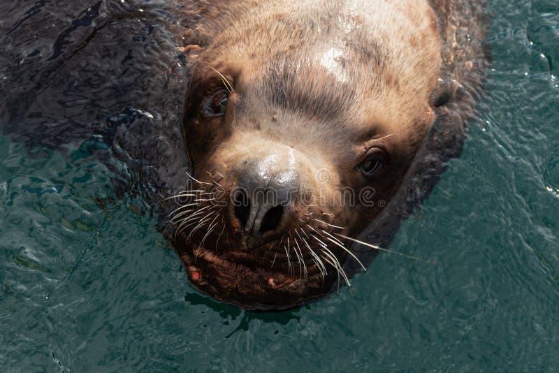 O leão de mar animal de Steller do mamífero selvagem do mar nada no Oceano Pacífico da água fria imagens de stock