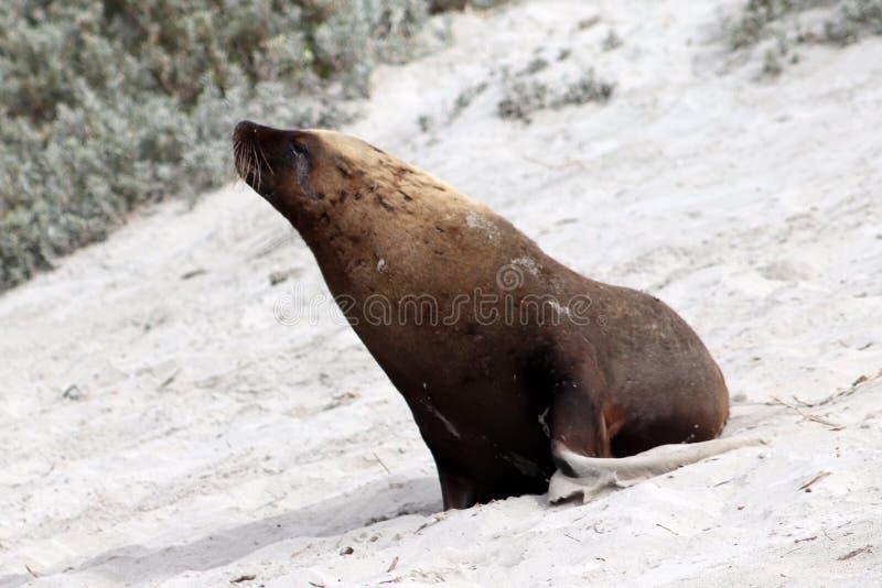O leão de mar australiano na praia, Sul da Austrália da ilha do canguru fotos de stock royalty free