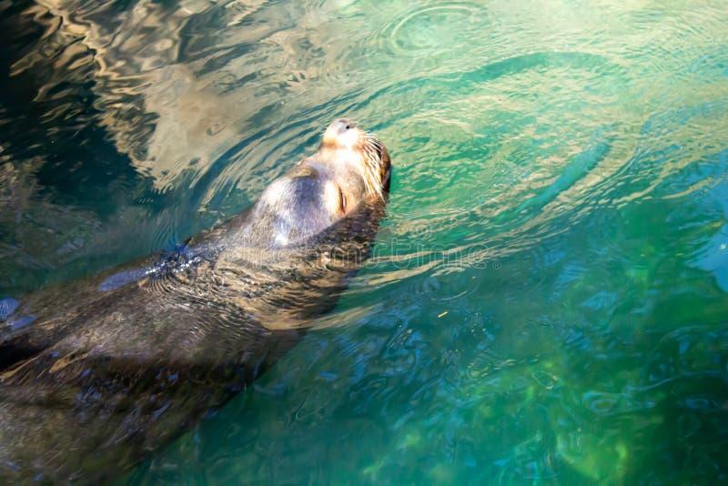 O leão de mar de Califórnia toma uma respiração acima da água foto de stock