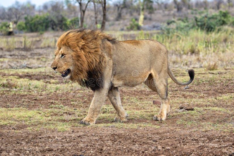 O leão do rei fotografia de stock