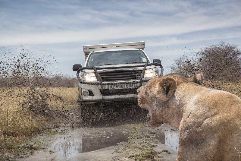 O leão encontra o carro do safari imagens de stock royalty free