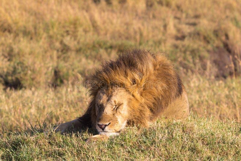 O leão enorme está adormecido Masai Mara, Kenya foto de stock