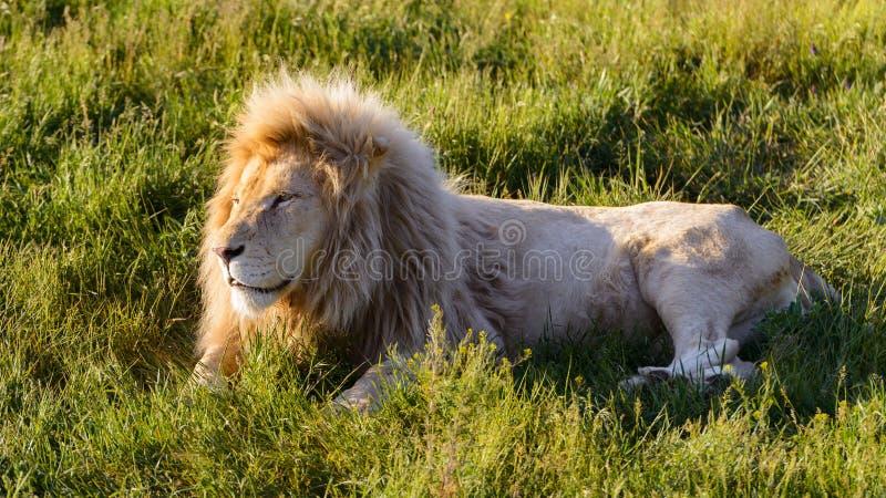 O leão está encontrando-se na grama no parque do safari no por do sol foto de stock royalty free