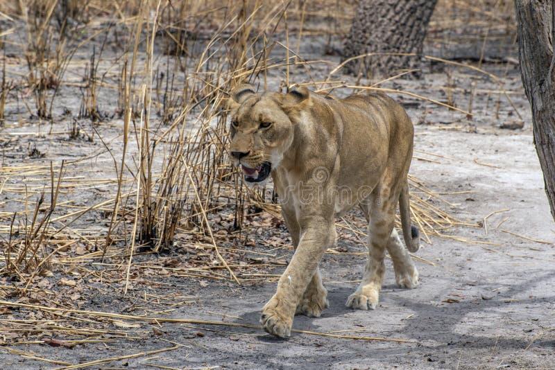 O leão fêmea africano no arvoredo Panthera Leo Retrato foto de stock royalty free