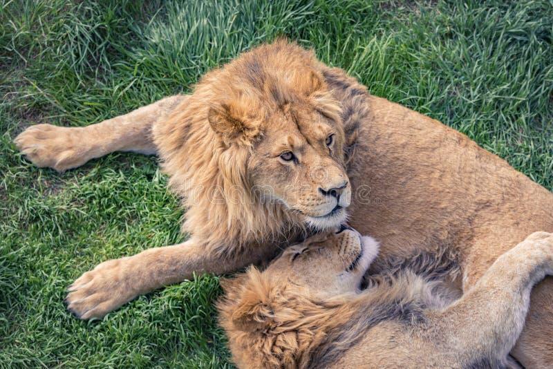 O leão novo com um olhar cuidadoso encontra-se na grama verde foto de stock