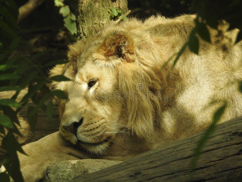 O leão parece furado para morrer fotografia de stock royalty free