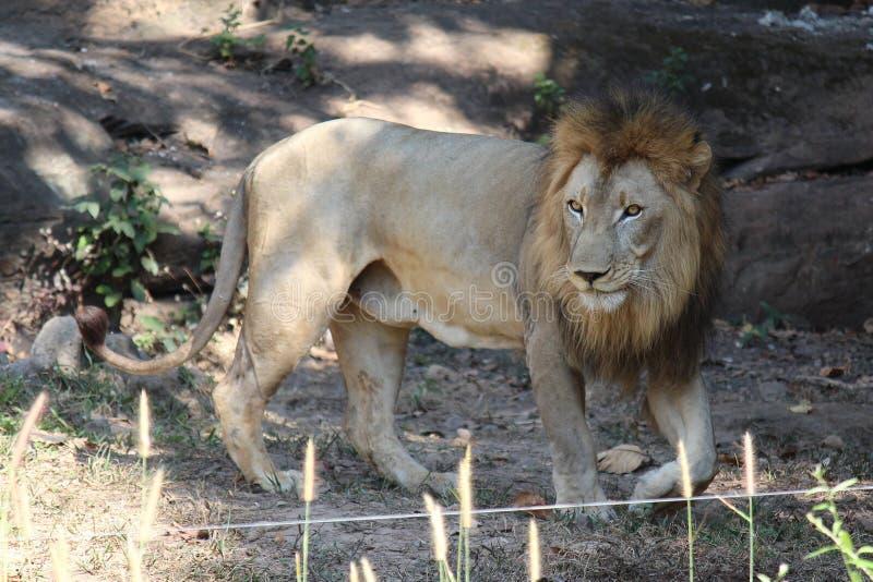 O leão, vê-o no jardim zoológico de KHON KAEN foto de stock