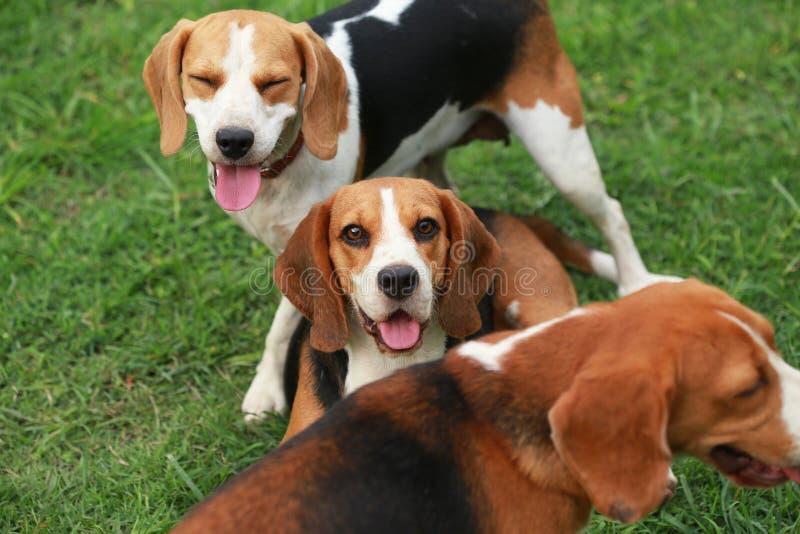 O lebreiro feliz persegue o jogo no gramado com amigos foto de stock royalty free