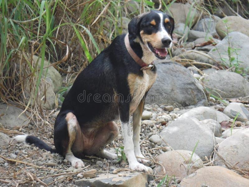 O lebreiro transversal do cão senta-se na praia fotos de stock