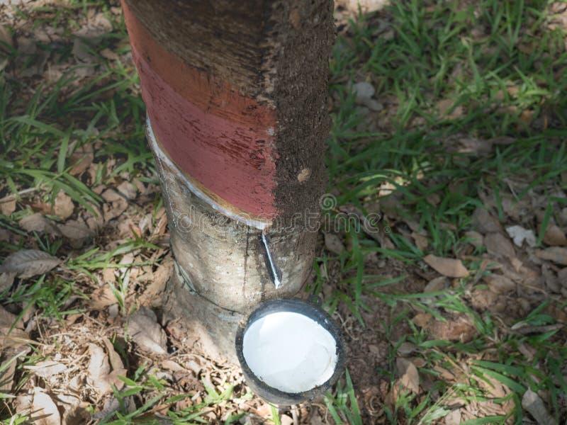 o leite branco do látex da casca do corte da árvore da borracha recolheu o fotografia de stock royalty free