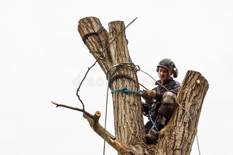 O lenhador com viu e chicote de fios que poda uma árvore Trabalho do Arborist na árvore de noz velha fotos de stock royalty free