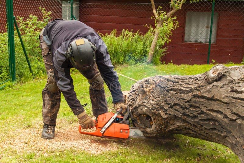 O lenhador corta a serra de cadeia Lenhador profissional Cutting uma árvore grande no jardim imagens de stock