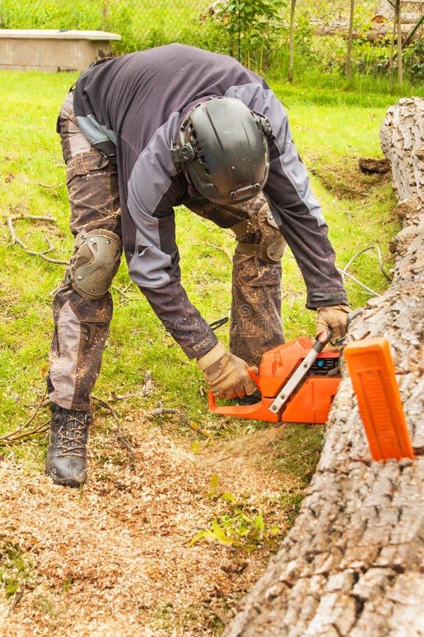 O lenhador corta a serra de cadeia Lenhador profissional Cutting uma árvore grande no jardim foto de stock royalty free