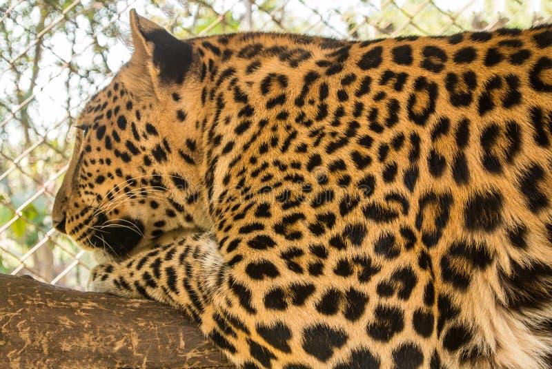 O leopardo é espécie no gênero Panthera ocorre em uma vasta gama em África subsariana fotos de stock royalty free