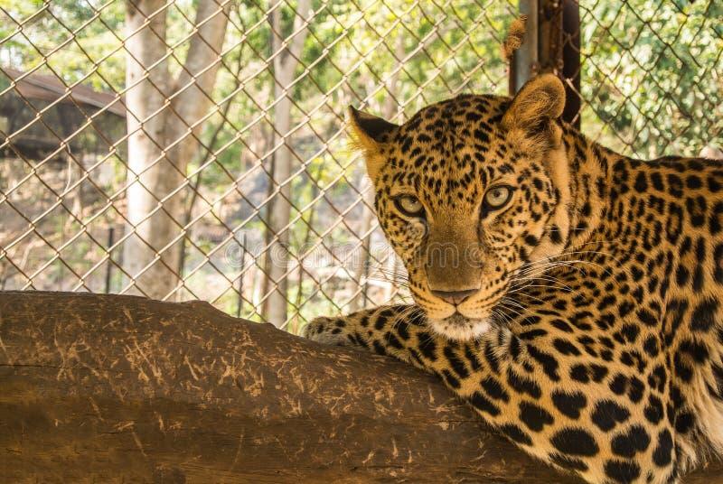 O leopardo é espécie no gênero Panthera ocorre em uma vasta gama em África subsariana foto de stock