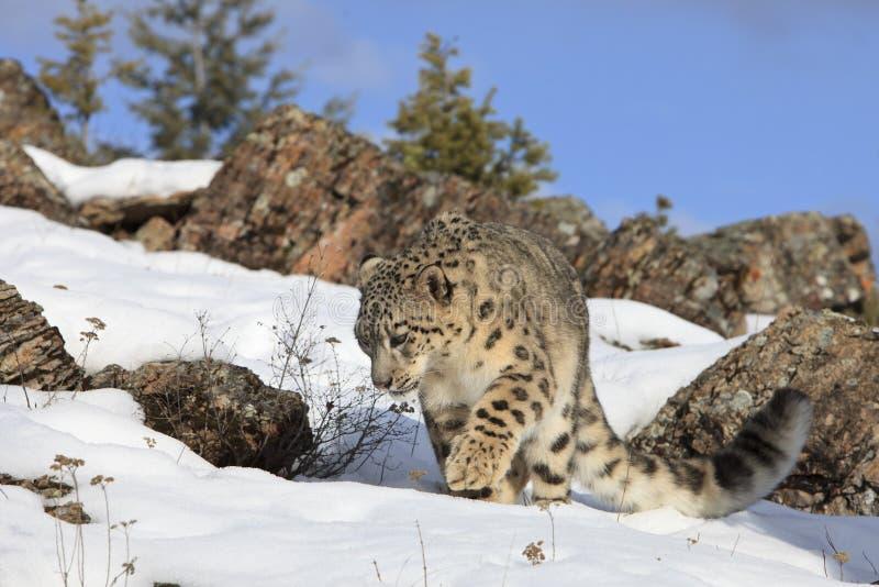O leopardo de neve espreita sobre imagens de stock