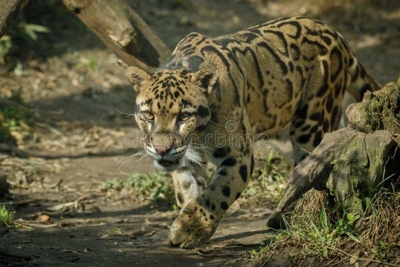 O leopardo nublado está andando para das sombras à luz imagem de stock