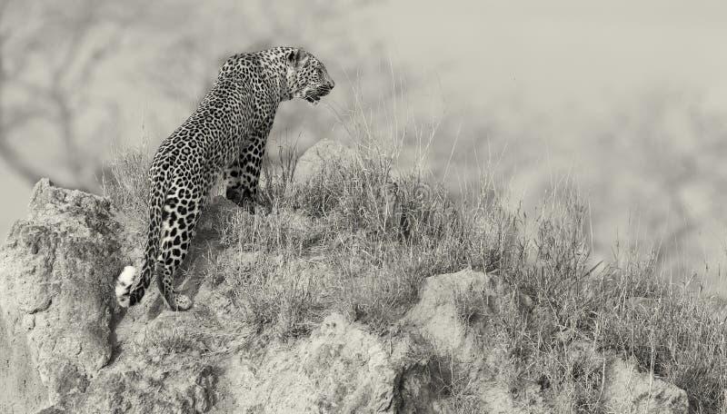 O leopardo solitário senta para baixo o descanso no formigueiro na natureza durante o daytim imagens de stock royalty free