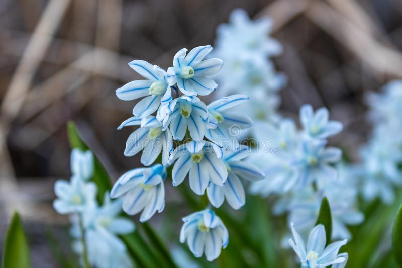 O libanotica Prolegomena alba o representante do jacinto, da fam?lia do aspargo Flor adiantada da mola imagem de stock