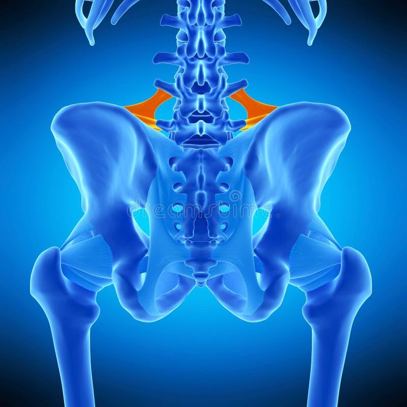 O ligamento iliolumbar ilustração royalty free