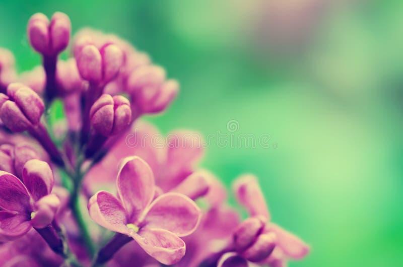 O Lilac floresce o fundo fotos de stock royalty free